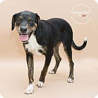 Adopt A Pet :: Jewell - Apache Junction, AZ
