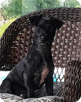 Jack Russell Terrier/Toy Poodle Mix Dog for adoption in Nicholasville, Kentucky - Mina