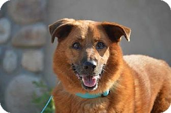 German Shepherd Dog/Retriever (Unknown Type) Mix Dog for adoption in Downey, California - Ace