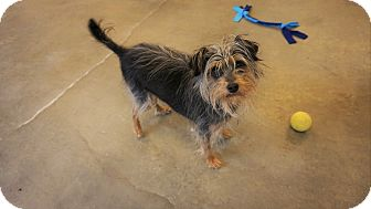 Yorkie, Yorkshire Terrier Mix Dog for adoption in Seattle, Washington - Panchito
