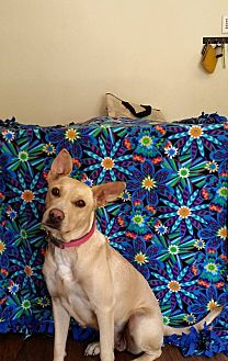 Labrador Retriever Mix Dog for adoption in Colorado Springs, Colorado - Rose
