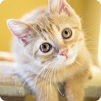 Domestic Shorthair Kitten for adoption in Chicago, Illinois - Tyrion