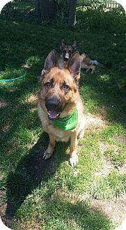 German Shepherd Dog Dog for adoption in Rootstown, Ohio - Optimus - Courtesy Listing