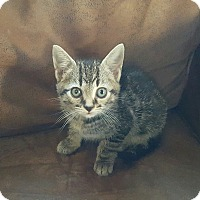 Domestic Shorthair Kitten for adoption in Dewitt, Michigan - Sheldon