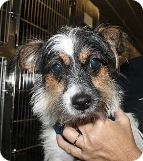 Wirehaired Fox Terrier/Jack Russell Terrier Mix Dog for adoption in Fort Madison, Iowa - Pippi