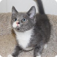 Domestic Shorthair Kitten for adoption in Greensboro, North Carolina - Andy
