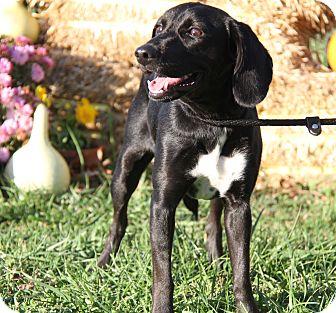 Labrador Retriever Mix Dog for adoption in Marietta, Ohio - Jewels (New Photos)