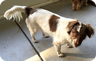 Dachshund/Cocker Spaniel Mix Dog for adoption in Umatilla, Florida - Melanie