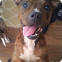 Pit Bull Terrier Mix Puppy for adoption in Tomball, Texas - Penny