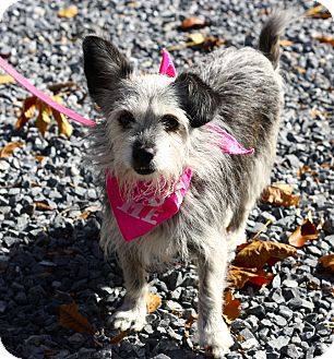Cairn Terrier/Terrier (Unknown Type, Small) Mix Dog for adoption in West Grove, Pennsylvania - Tinkerbell