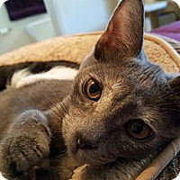 Domestic Shorthair Cat for adoption in Corona, California - Emee