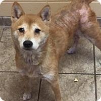 Adopt A Pet :: Ziggy 110844 - Joplin, MO