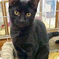 Egyptian Mau Kitten for adoption in Waynesboro, Pennsylvania - Bianca
