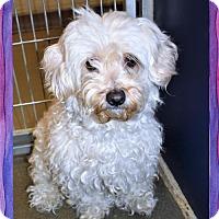 Adopt A Pet :: Terripoo fem - San Jacinto, CA
