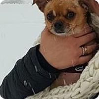 Adopt A Pet :: ZOA-Gizmo - Aurora, IL
