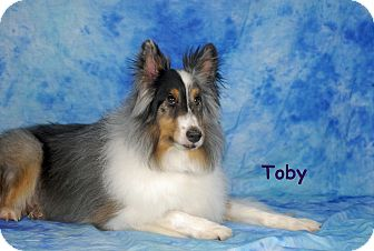Sheltie, Shetland Sheepdog Dog for adoption in Ft. Myers, Florida - Toby