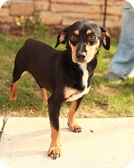 Dachshund Mix Dog for adoption in Lancaster, Ohio - Sheldon