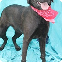 Labrador Retriever/Shepherd (Unknown Type) Mix Dog for adoption in New Roads, Louisiana - Beaux