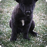 Adopt A Pet :: Drogo - Broomfield, CO