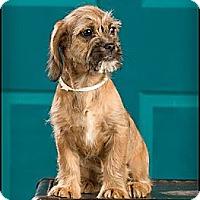Adopt A Pet :: Doodle - Owensboro, KY