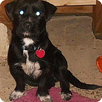 Adopt A Pet :: Terrier Mix Adult - Aloha, OR