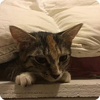 Domestic Shorthair Kitten for adoption in New York, New York - Lilith