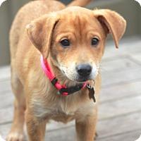 Adopt A Pet :: Bracken - Norwalk, CT