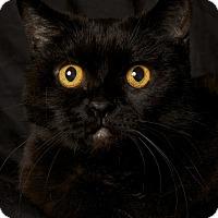 Adopt A Pet :: Raven - Gilbert, AZ