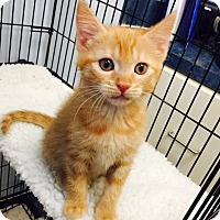 Adopt A Pet :: A Kitty - Jupiter, FL