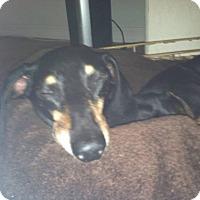Adopt A Pet :: Angus - Henderson, NV