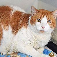 Adopt A Pet :: Punkin - Lincoln, NE