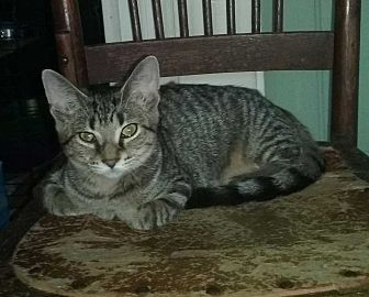 Domestic Shorthair Cat for adoption in Columbia City, Indiana - Addie Jo