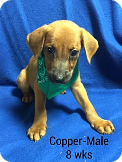 Golden Retriever/Shepherd (Unknown Type) Mix Puppy for adoption in Southington, Connecticut - Copper