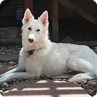Adopt A Pet :: COURTESY POSTING - Kona - Fort Collins, CO