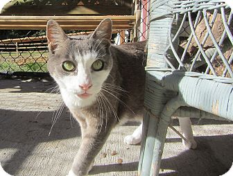 Domestic Shorthair Cat for adoption in Kingston, Washington - Bill
