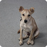 German Shepherd Dog Mix Puppy for adoption in Phoenix, Arizona - Rick
