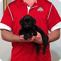 Adopt A Pet :: Molly - Gahanna, OH