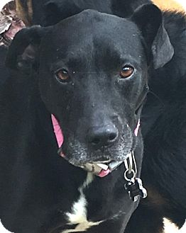 Labrador Retriever Mix Dog for adoption in calimesa, California - Eve