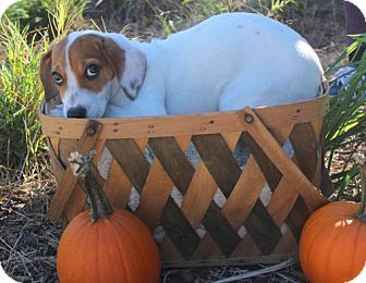 Beagle Mix Dog for adoption in Mocksville, North Carolina - Marcie