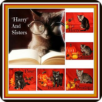 Domestic Shorthair Kitten for adoption in Marietta, Ohio - Harry & His Four Sisters