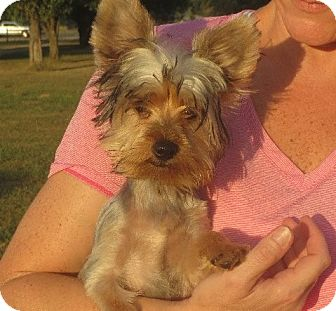 Yorkie, Yorkshire Terrier Puppy for adoption in Westport, Connecticut - Ernest