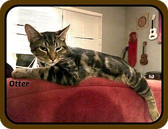 American Shorthair Kitten for adoption in Malvern, Arkansas - OTTER