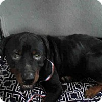 Rottweiler Dog for adoption in Conroe, Texas - TROOPER