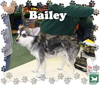 Chihuahua Mix Dog for adoption in Fallston, Maryland - Bailey