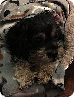 Shih Tzu/Schnauzer (Miniature) Mix Dog for adoption in Madison, Wisconsin - Toby:Sweet Adult boy (TN)