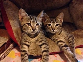 Domestic Mediumhair Cat for adoption in Walnut Creek, California - Nala and Simba