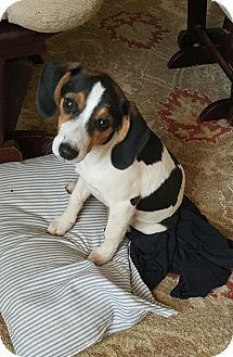 Beagle/Beagle Mix Puppy for adoption in West Springfield, Massachusetts - Lillie