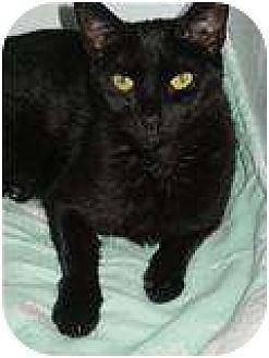 Domestic Shorthair Cat for adoption in Ocean City, New Jersey - Ebony
