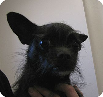 Chihuahua/Terrier (Unknown Type, Small) Mix Dog for adoption in Roosevelt, Utah - Bella