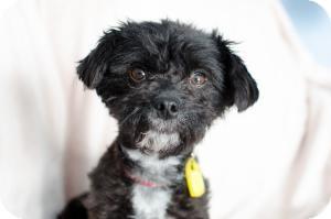 Poodle (Miniature) Mix Dog for adoption in Saskatoon, Saskatchewan - Rosie